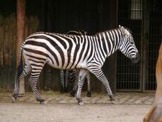 Equus-quagga-boehmi4