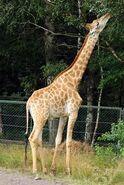 Giraffa-camelopardalis-giraffa1