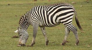 Selous-zebra