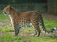 Panthera-pardus-japonensis4