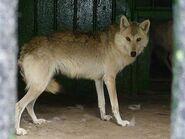 Canis-lupus-campestris1