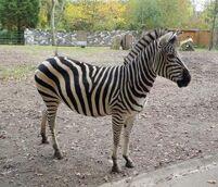 Equus-quagga3