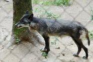 Canis-lupus-pambasileus1