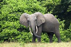 Cameroon African Forest Elephant