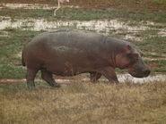 HippopotamusImage