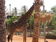 Giraffa-camelopardalis-tippelskirchi5