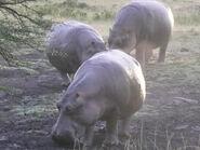 Hippopotamus-amphibius-kiboko