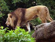 Panthera-leo-vernayi4