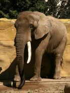 Loxodonta-africana-africana1