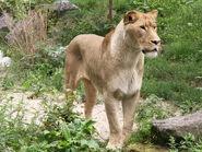 Panthera-leo-krugeri1
