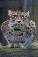 Panthera-pardus-saxicolor4