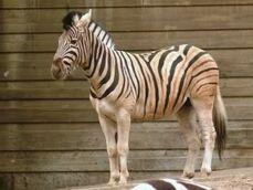 Equus-quagga-burchellii6