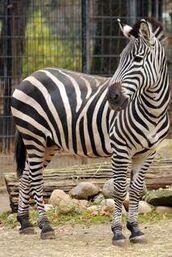 Equus-quagga1
