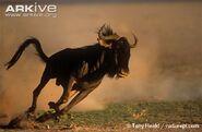 Blue-wildebeest-running-ssp-taurinus