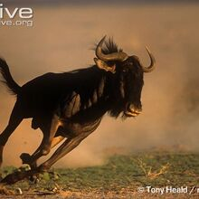 Blue-wildebeest-running-ssp-taurinus.jpg
