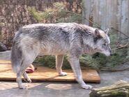 Canis-lupus-pambasileus3