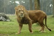 Panthera-leo-somaliensis2