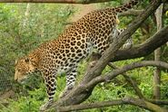 Panthera-pardus-melas3