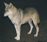 Canis-lupus-pallipes2