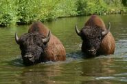 Bison-bison-athabascae4