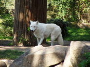 Canis-lupus1