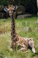 Giraffa-camelopardalis-angolensis7