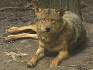 Canis-lupus-signatus6