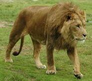 Panthera-leo-somaliensis1