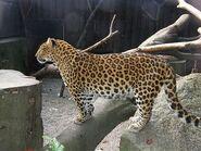 Panthera-pardus-japonensis1