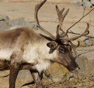 Rangifer-tarandus-caribou4