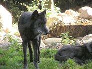 Canis-lupus-occidentalis4