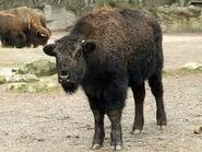 Bison-bison-bison7