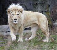 White-lion-images-20