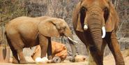 MWCZ Elephants