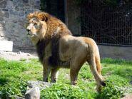 Panthera-leo-leo7