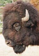 Bison-bison-bison4