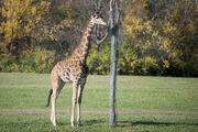 Masai Giraffe.jpg