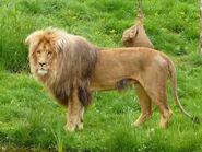 Panthera-leo-bleyenberghi2