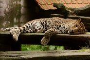 Panthera-pardus-shortridgei1