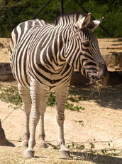 Equus-quagga-chapmani5