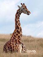 Giraffa-camelopardalis1