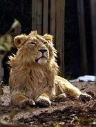 Panthera-leo-persica4