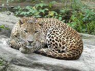Panthera-pardus-kotiya5