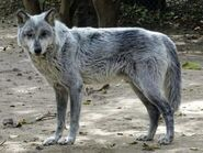 Canis-lupus-nubilus