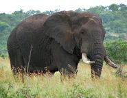 Elephant10