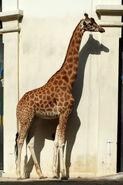 Giraffa-camelopardalis-antiquorum2