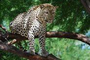 Panthera-pardus4