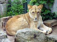 Panthera-leo-bleyenberghi4