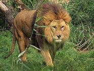 Panthera-leo5