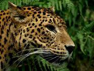 Panthera-pardus-kotiya6